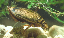 Aquatic Beetle